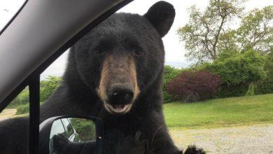 Photo of Sorprendente: oso abre puerta de auto en movimiento