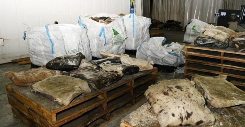 De México a Australia: cuero de vaca ocultaba millonario alijo 1
