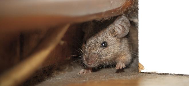 Colocar trampas para ratones en el ático